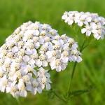 Три билкови рецепти за отслабване