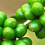 Зелено кафе – новата мода в отслабването