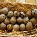 Колко са полезни пъдпъдъчите яйца ?