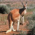 диета за отслабване кенгуру
