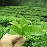 5- дневна диета със зелен чай